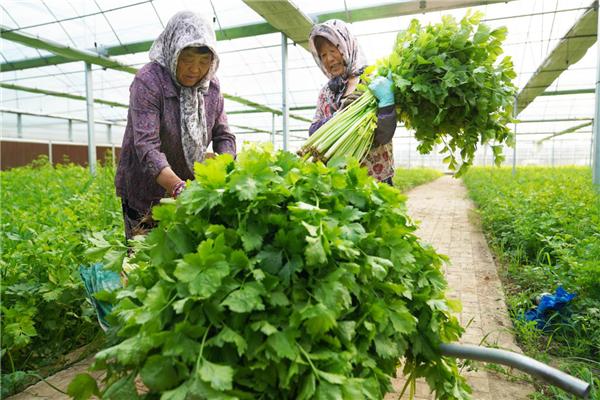 山东日照:芹菜种植助推产业振兴